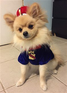 pomeranian-in-king-costume