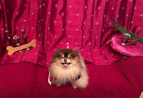 Pomeranian Costume Winner 2016- 2nd Runner Up