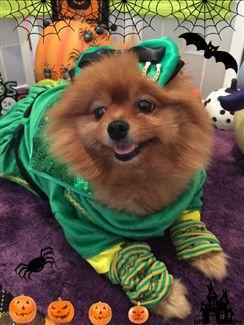 pomeranian-leprechaun-costume