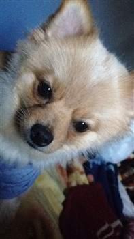 Pomeranian looking in sideways
