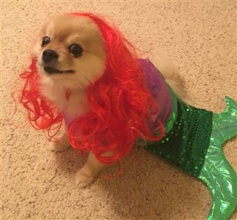 Pomeranian mermaid costume