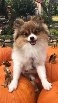 Pomeranian Pumpkin Hunter