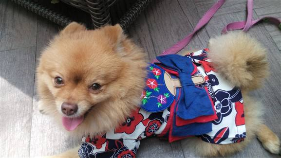 pomeranian-red-white-blue-geisha