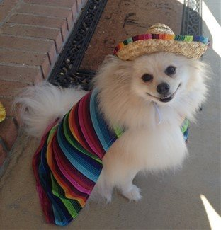 Pomeranian in senior Mexican costume
