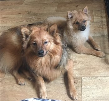 Two Pomeranians of different size