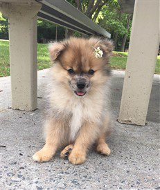 pomeranian-throwback-11-lbs-at-5-months