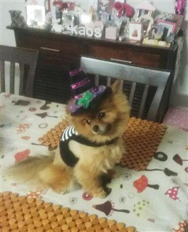 pomeranian-witch-costume-03.j