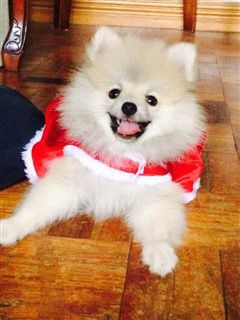 Pomeranian with red cape
