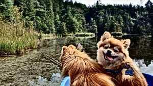 Pomeranians on a boat