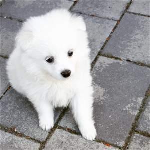 pure all white pomeranian