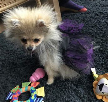 purple-princess-halloween-costume-pomeranian