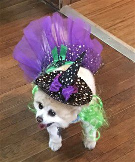 purple-witch-pomeranian-costume