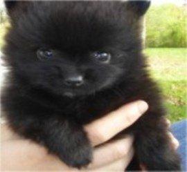 solid black Pomeranian puppy