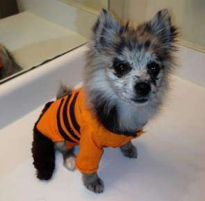 Pomeranian Rocket Raccoon Costume