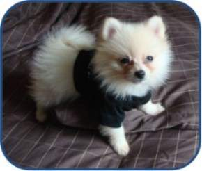 Pomeranian with outfit on