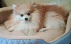 adult Pomeranian