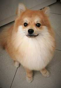 10 month old Pomeranian puppy-2