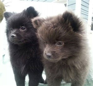 throwback-pom-puppies