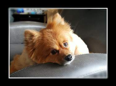male Pomeranian, throwback, 19 pounds