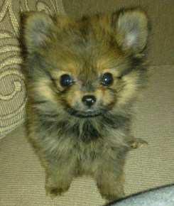 tiny Pom puppy milo