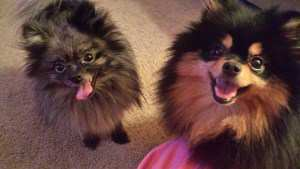 two Poms