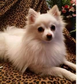 white and cream Pomeranian