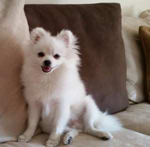 6 month old white male Pomeranian
