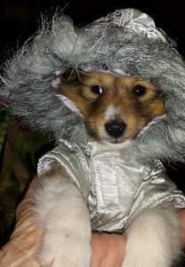 9 week old Pomeranian