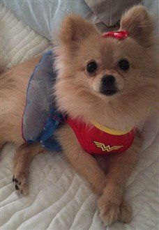 wonder pom dog outfit