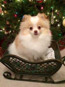 Pomeranian under Christmas tree