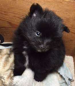 6 week old Pomeranian puppy