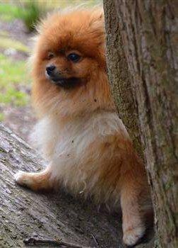 Pomeranian outside care