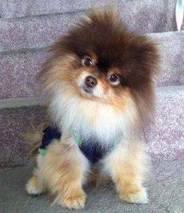 tri color Pomeranian puppy