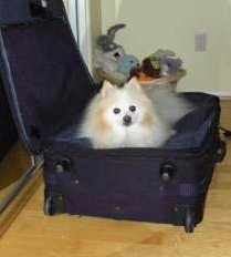 Coty, 21 year old Pomeranian, in a suitcase