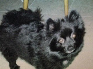 Pomeranian-before-pic-1-black