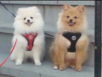 Best Harness And Collars For A Pomeranian