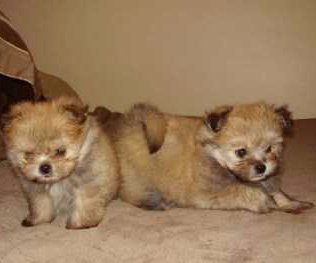 Shiranian dogs