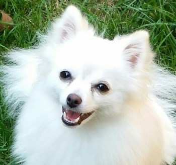 adult white Pomeranian