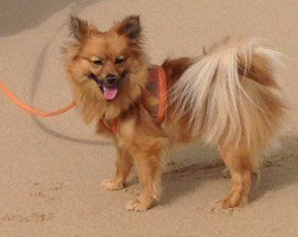 pomeranian wearing a harness