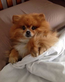 Pomeranian in a bed