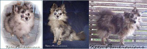 before and after Pomeranian shedding