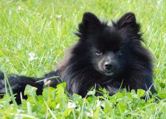 black Pomeranian sitting in grass