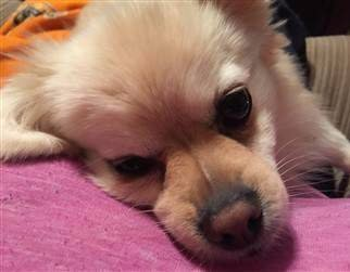 Pomeranian dudley nose black and pink