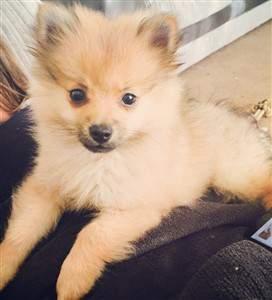 cream sable Pomeranian change