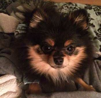cute Pomeranian puppy tan and black