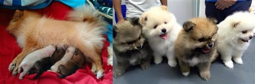 dam nursing pups; pups at 6 weeks