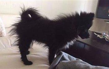minor case of puppy uglies, Pomeranian
