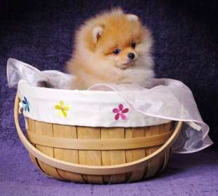 Female Pomeranian in basket