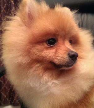 9 years old female Pomeranian