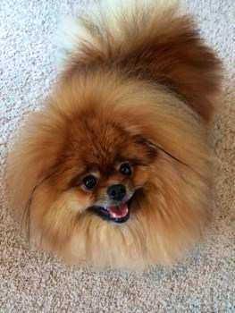 fluffy orange Pomeranian